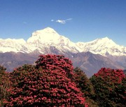 Poon Hill Trek4
