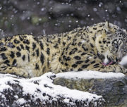 Snow Leopard Expedition2